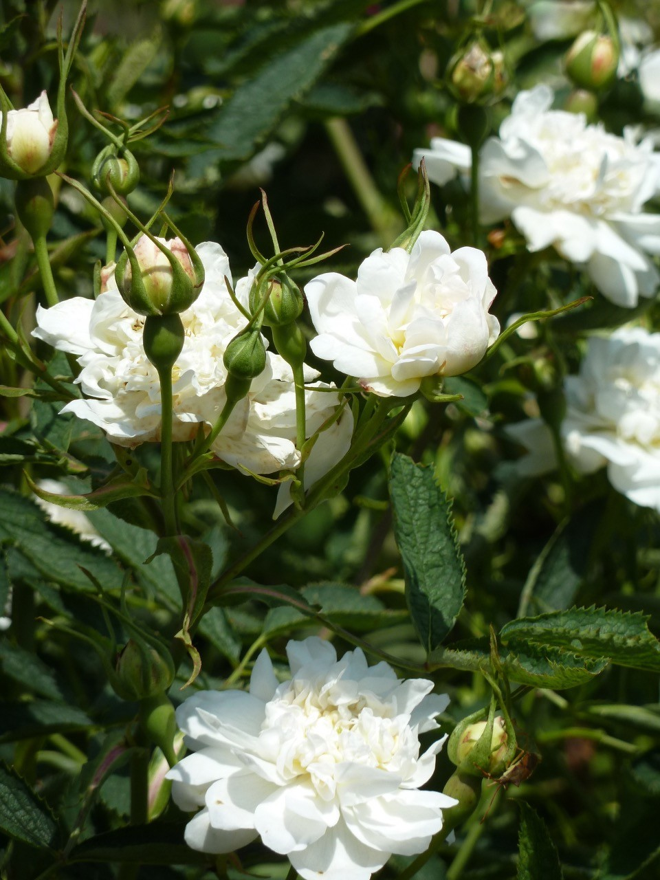 Nom de la rose