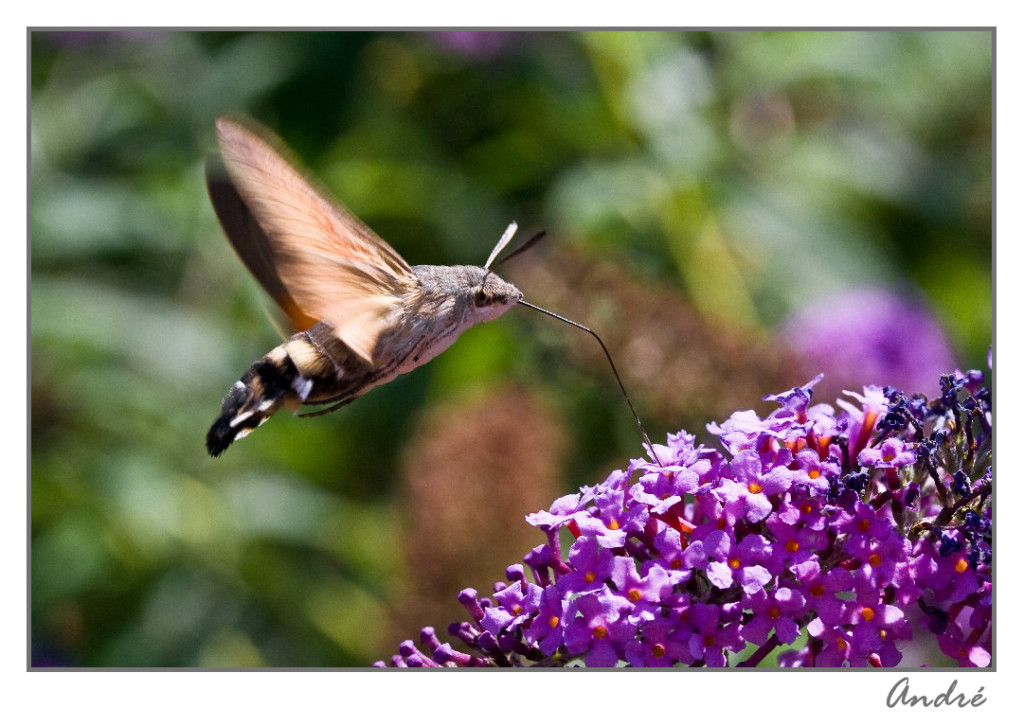 Papillon Morosphinx