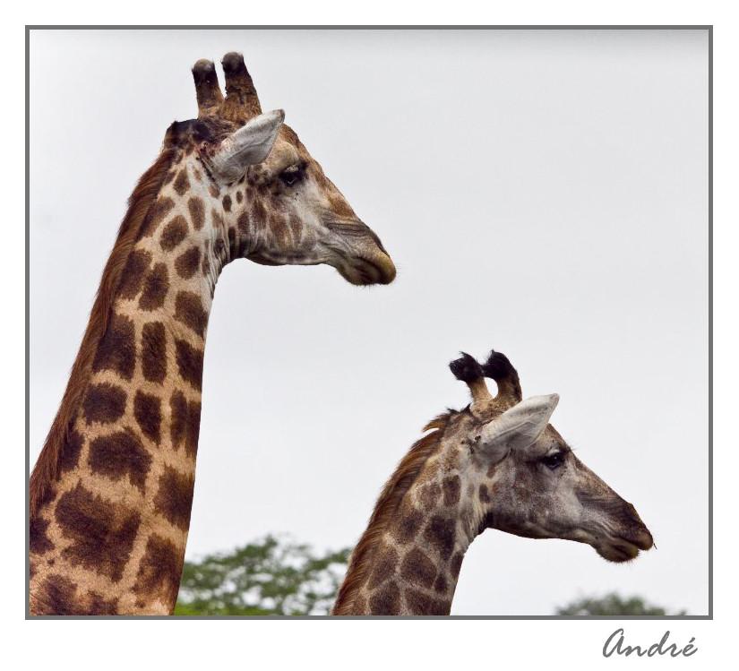Park Kruger, Girafes