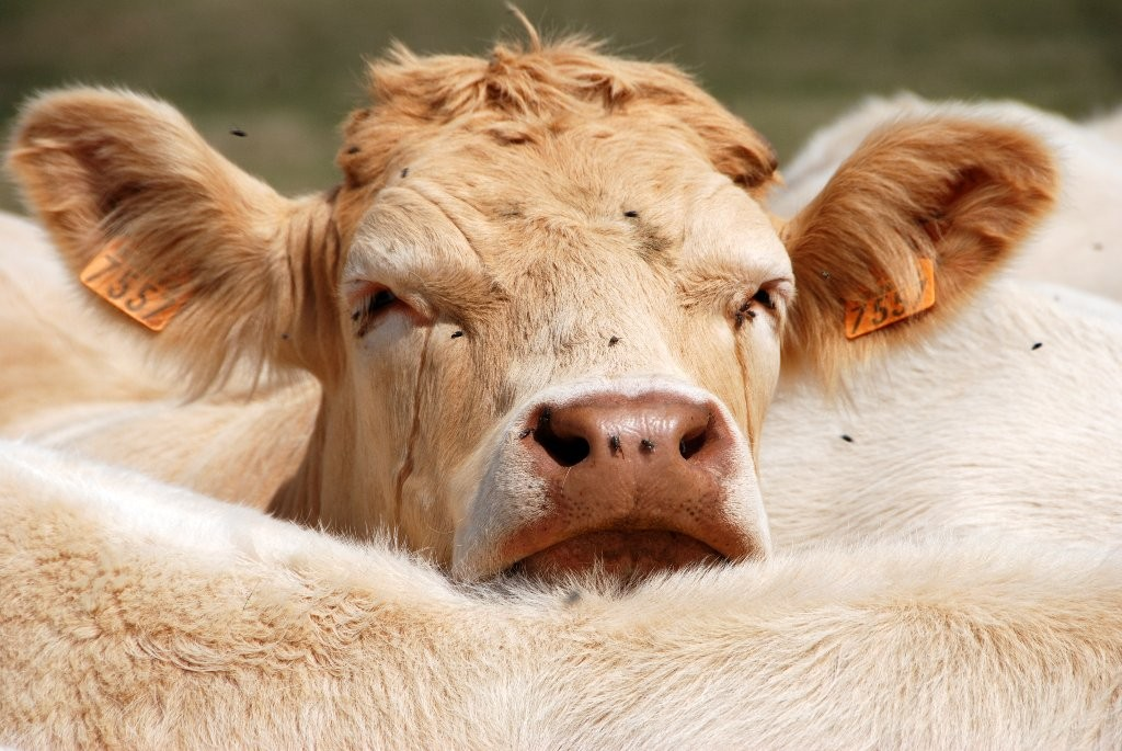 Didier : la vache