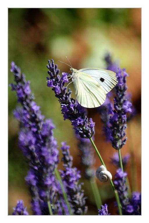 Gilliane : Papillon et lavande