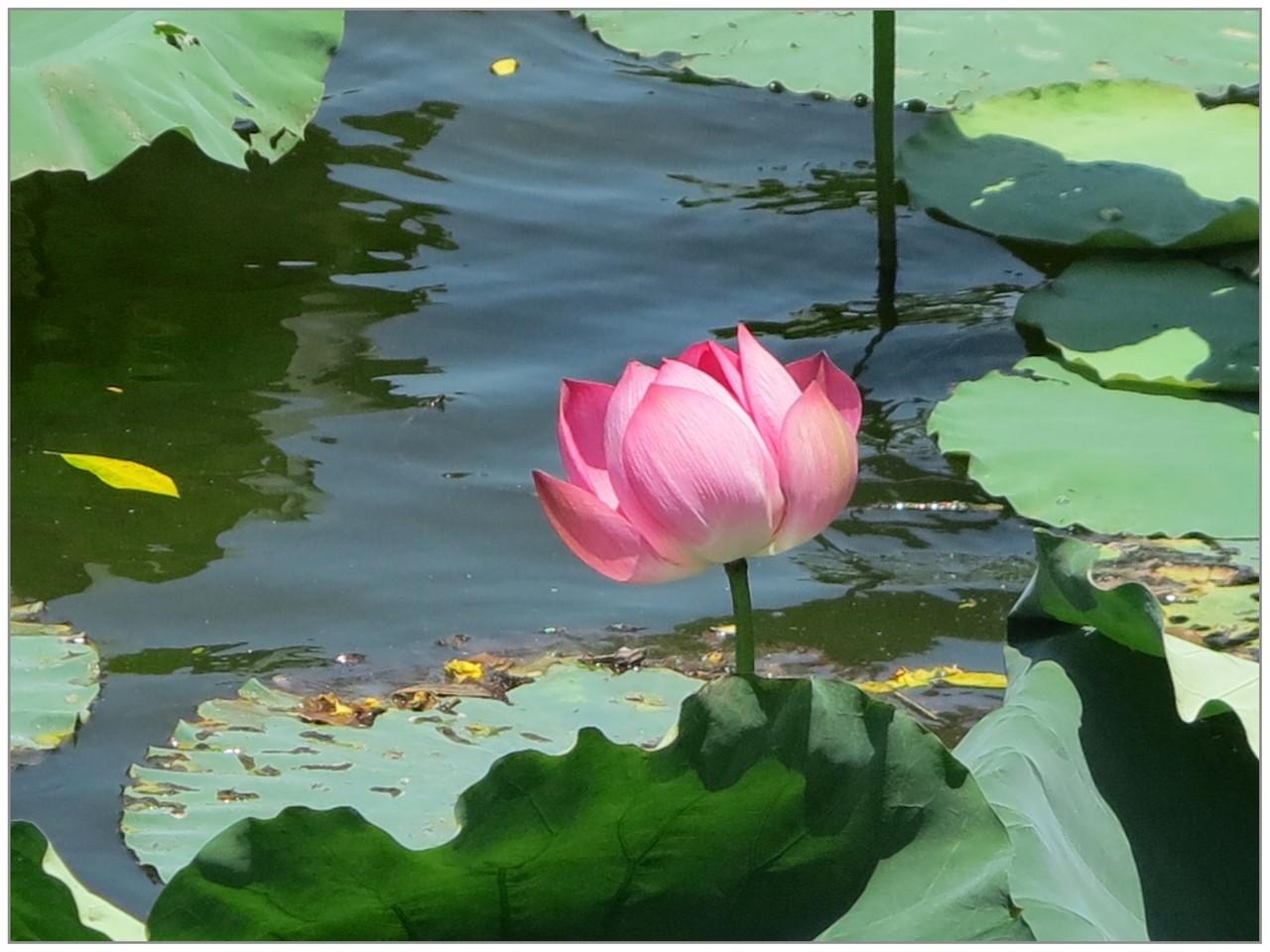 Fleur de Nénuphar - Patrick M.
