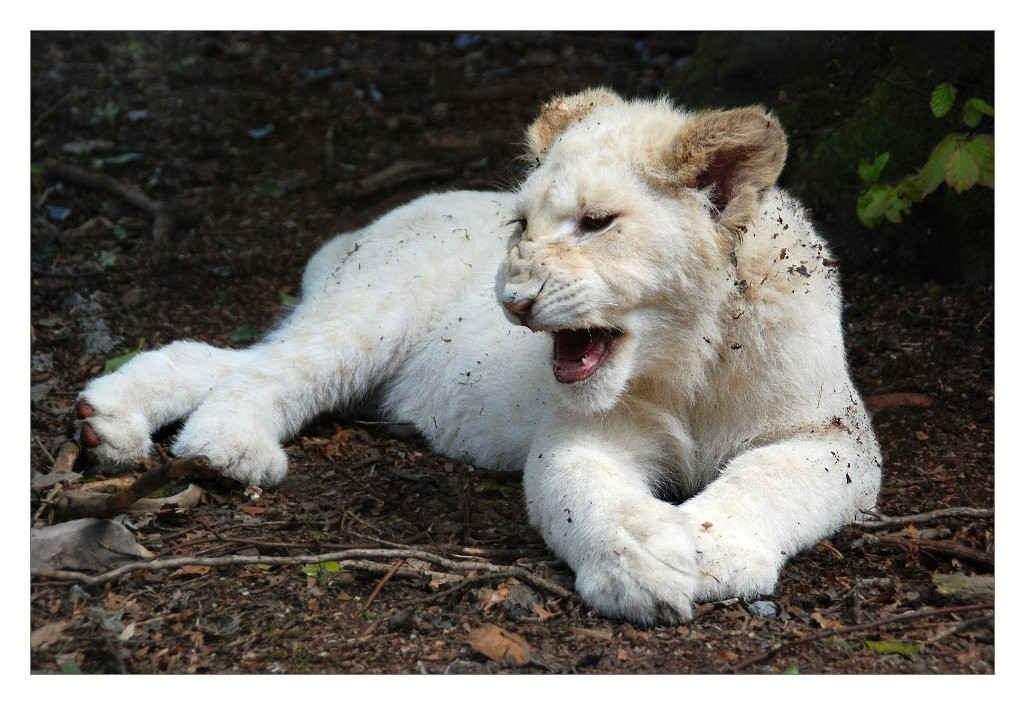 Gilliane : lionceau blanc