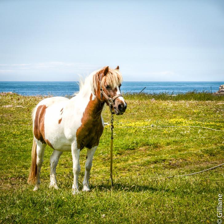 poney dans la bruyére