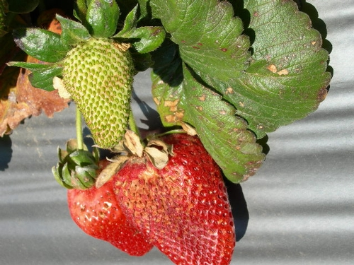 Sunburn browning to straberry