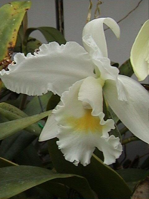 Cattleya hybride