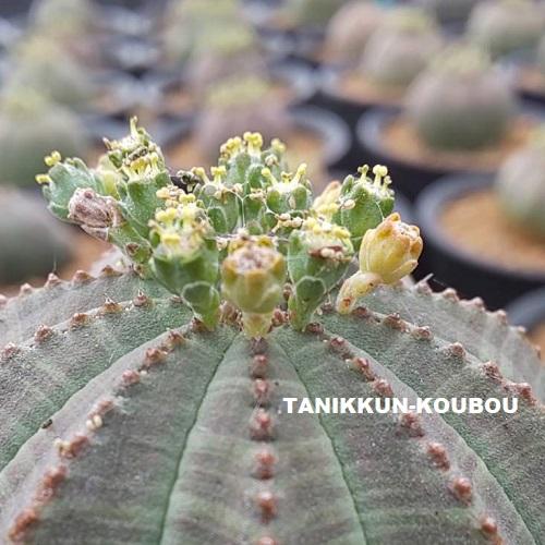 黄色い花粉があるのがオベサの雄花。