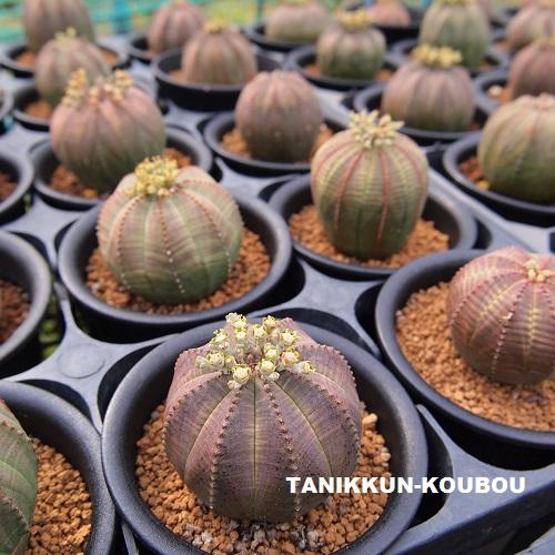 ハウスで栽培しているユーフォルビア・オベサのオス株。