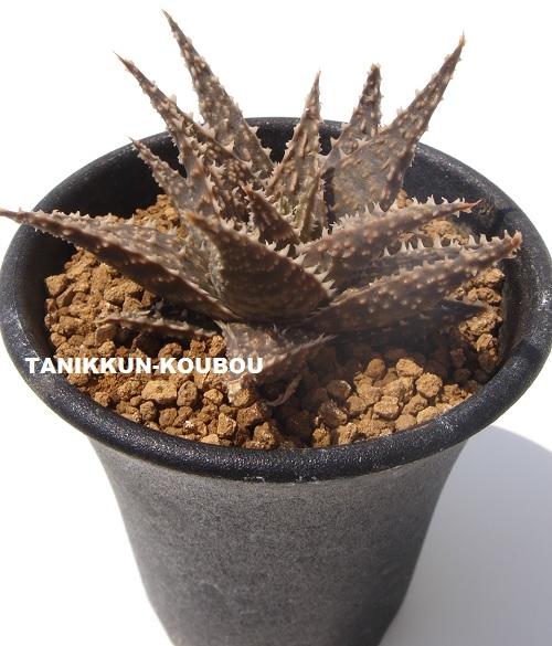 丸いプラ鉢に植えたアロエ