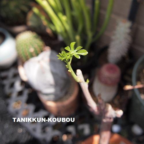春に休眠期から目覚めると、かわいらしい新芽を展開します。水やりは徐々に増やしましょう。