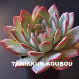 Koi(たにっくん工房オリジナル品種)