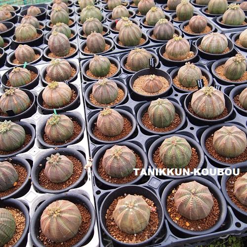 ハウスで栽培している、ユーフォルビア・オベサのメス株。