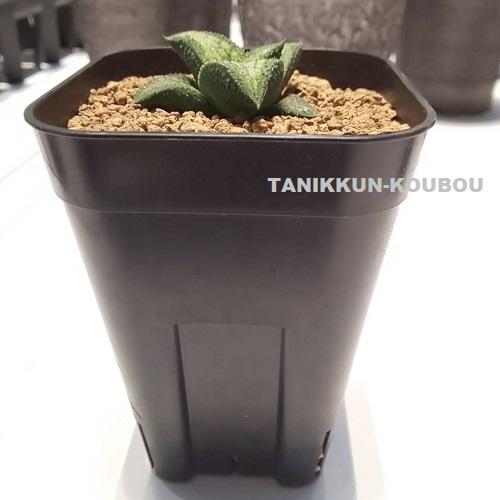 スリット鉢に植えたハオルチア