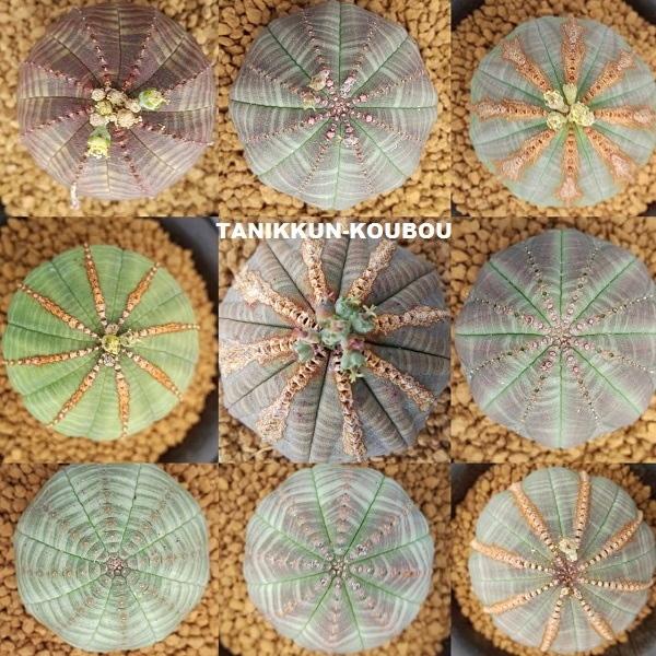 ユーフォルビア・オベサは実生すると、色や模様、形にいろいろなバリエーションが生まれる。
