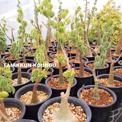 コーデックス植物と呼ばれる、アデニアグラウカの栽培風景です。