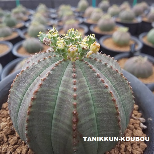 ユーフォルビア・オベサのオス株の花です。