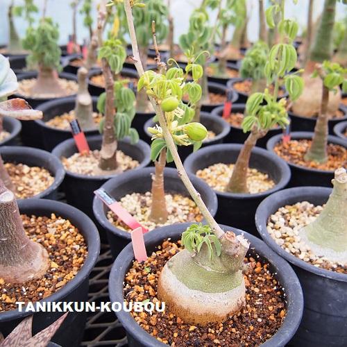 アデニア・グラウカに種がついて、だいぶふくらんでいます。種から育てると株元の塊根と呼ばれる部分が膨らんで魅力的な姿になります。