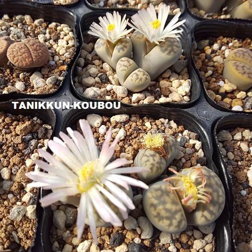 リトープス・琥珀玉の花