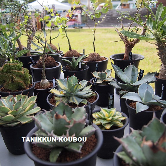 イベントに持って行ったアガベなどの植物