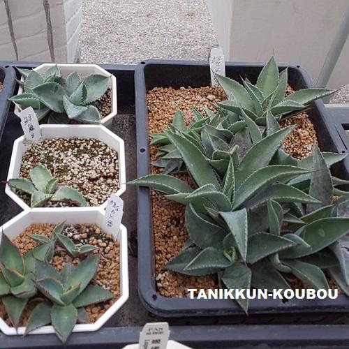 アガベの実生栽培
