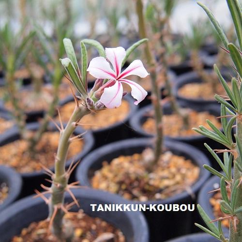 パキポディウム・サキュレンタムのかわいい花。