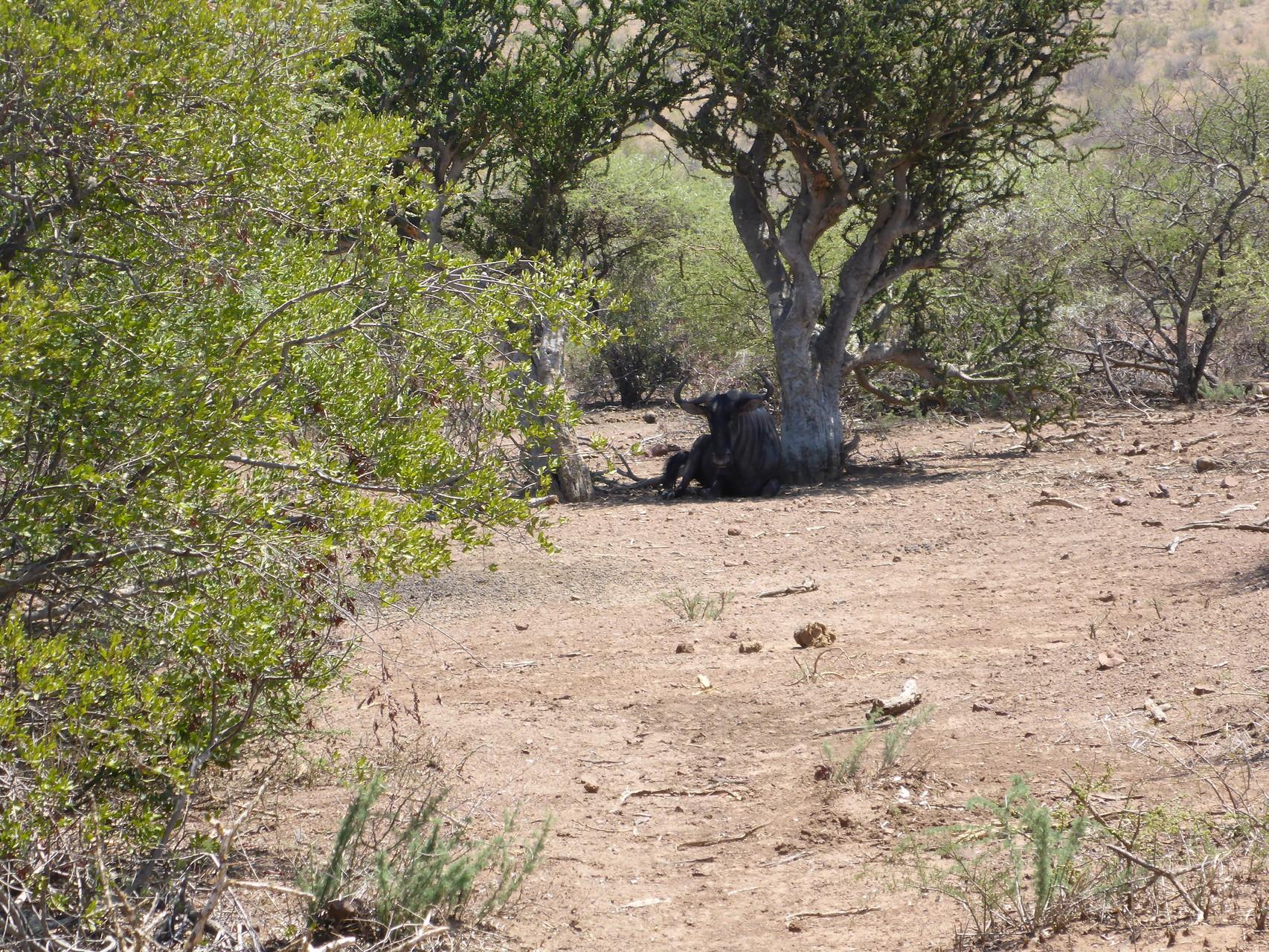 Another blue wildebeest..