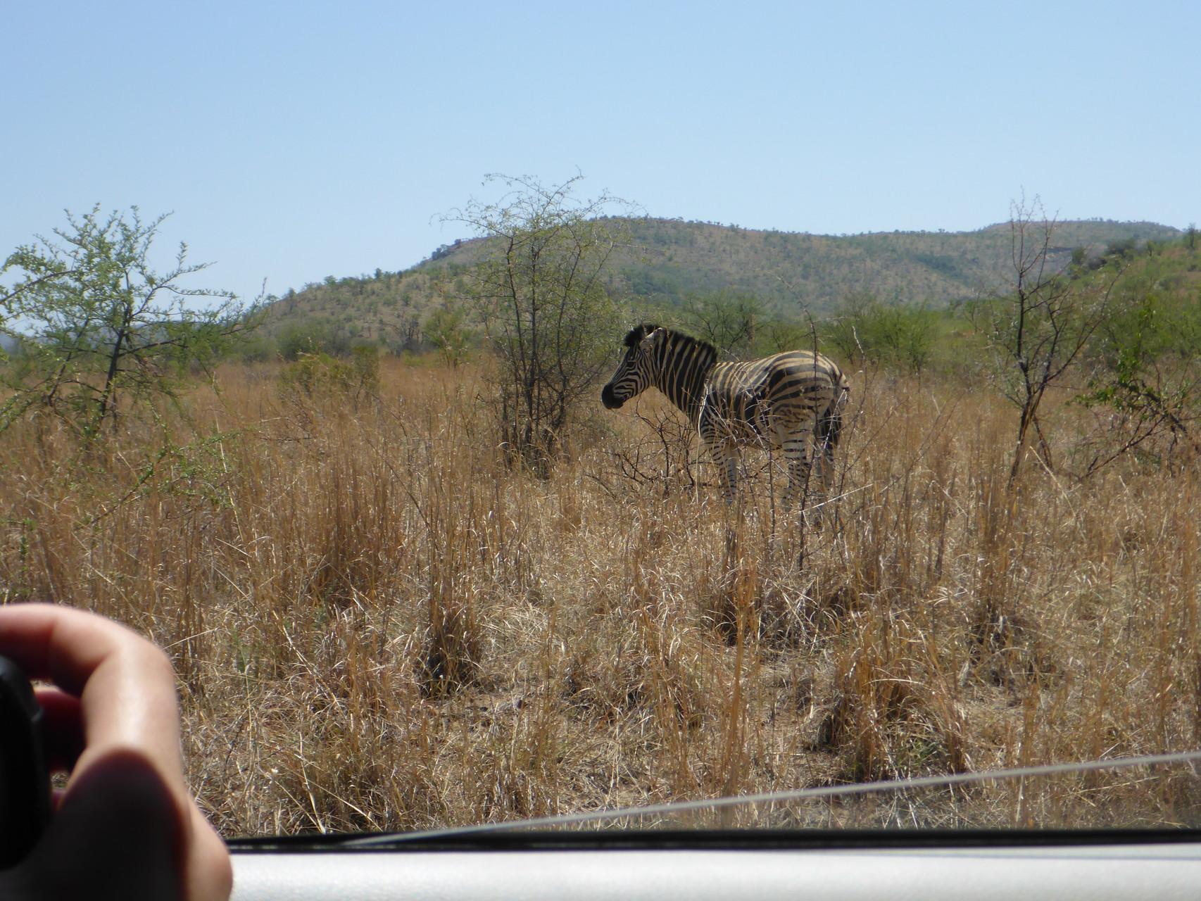 A zebra so near..