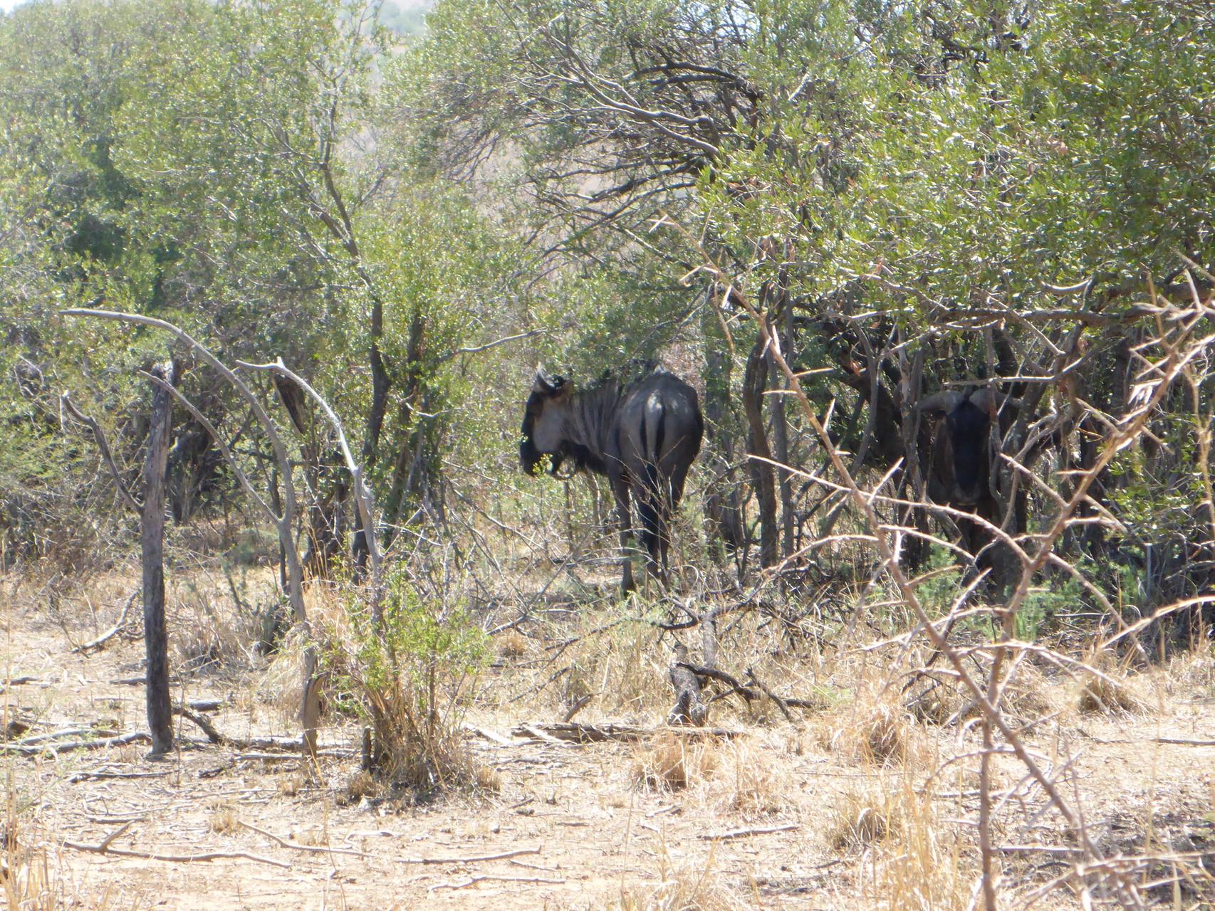 A blue wildebeest :D