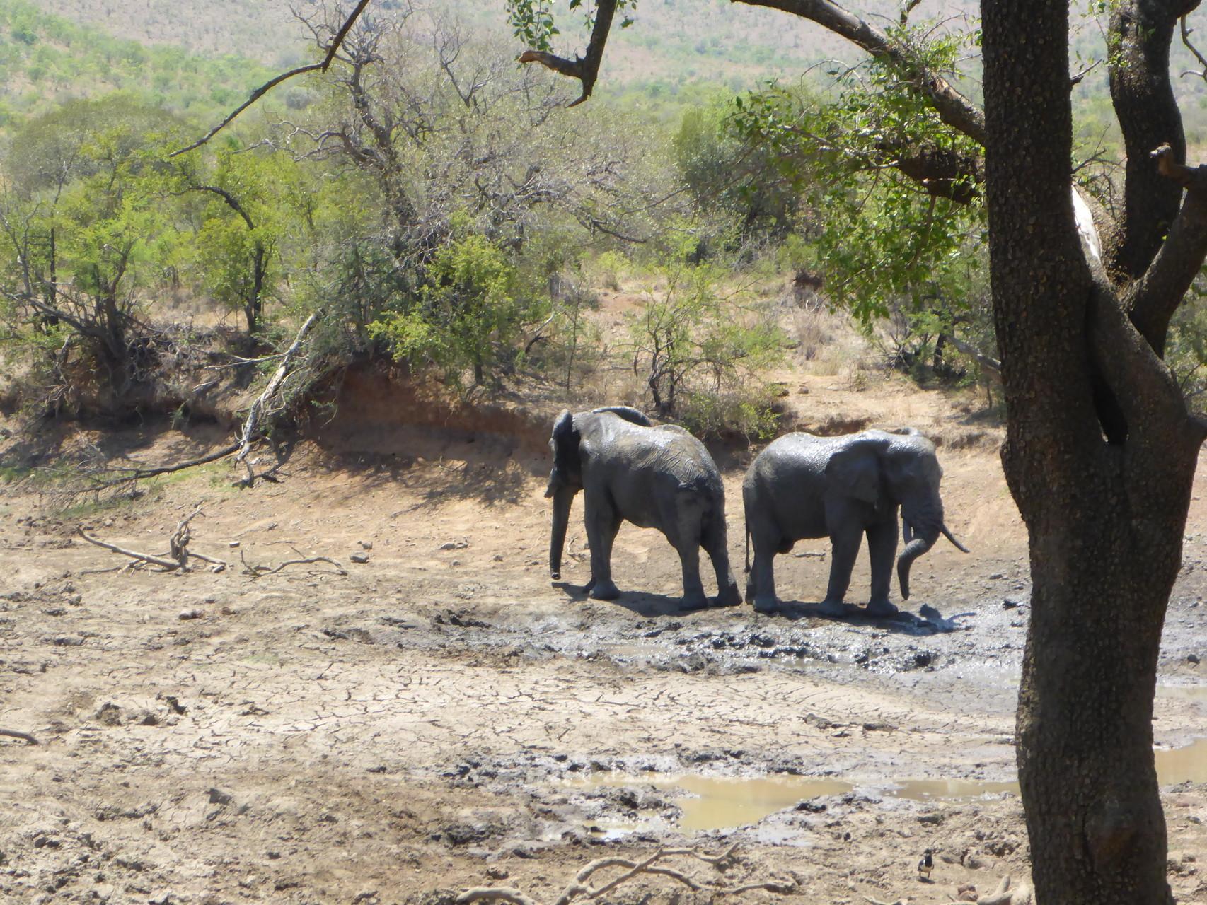 BumpsKiss - Elefants after mudbathing