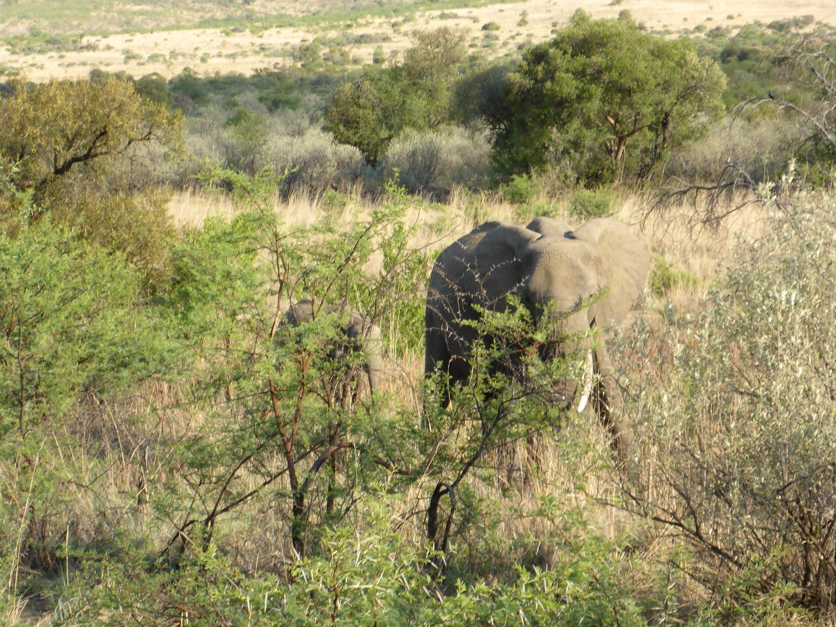 Elefanten Mami beschützt ihr kleines