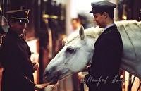 Lipizan horses