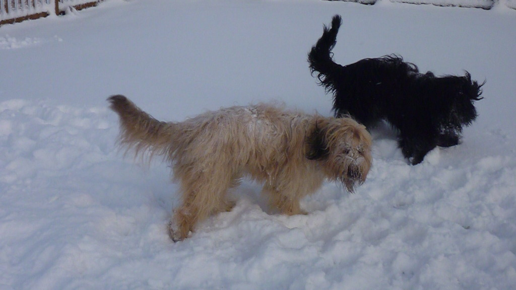 Indi mit Freundin Lotte im Schnee, 18 Dezember 2010 auf dem Übungsplatz in Recklinghausen