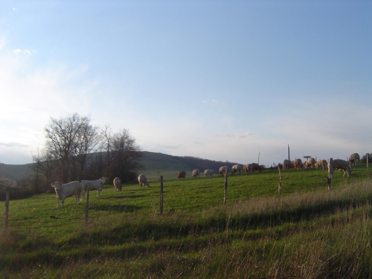 Troupeau de vaches et veaux qui pâturent devant le gîte