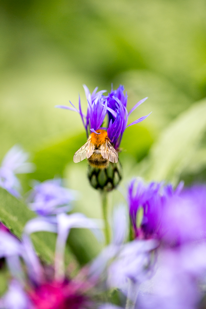 Hummel auf Flockenblue