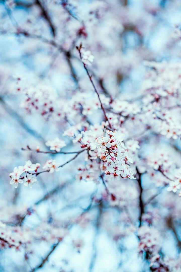 Wilde Pflaumenblüte