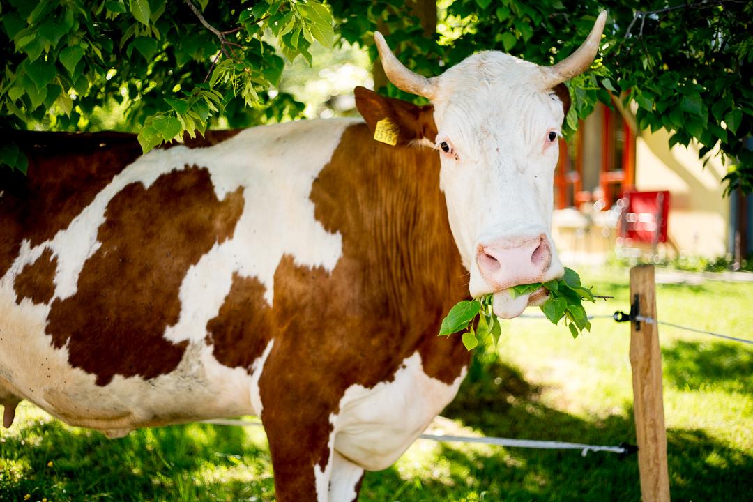 Kuh unter der Linde