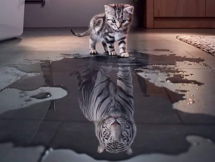 Foto de un gatito mirando su imágen de tigre en un charco de agua