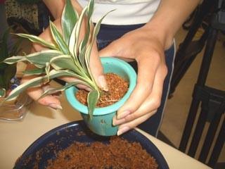 植物を植え込み、さらにエコスギバイオを入れます。