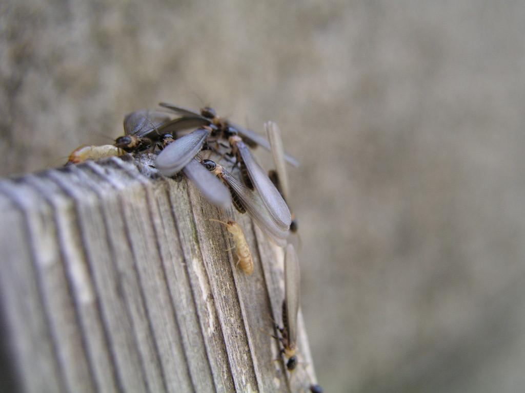 家白蟻と大和白蟻は巣別れの時期が違うように思います