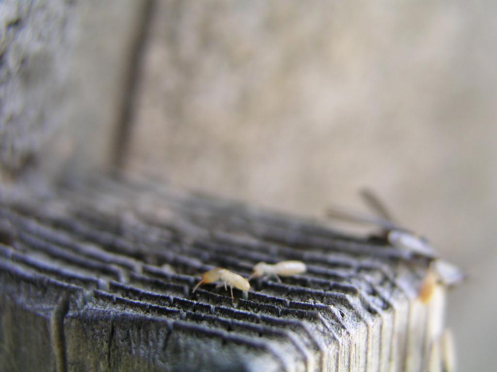 白蟻自体が明るいところに出るのはまれです