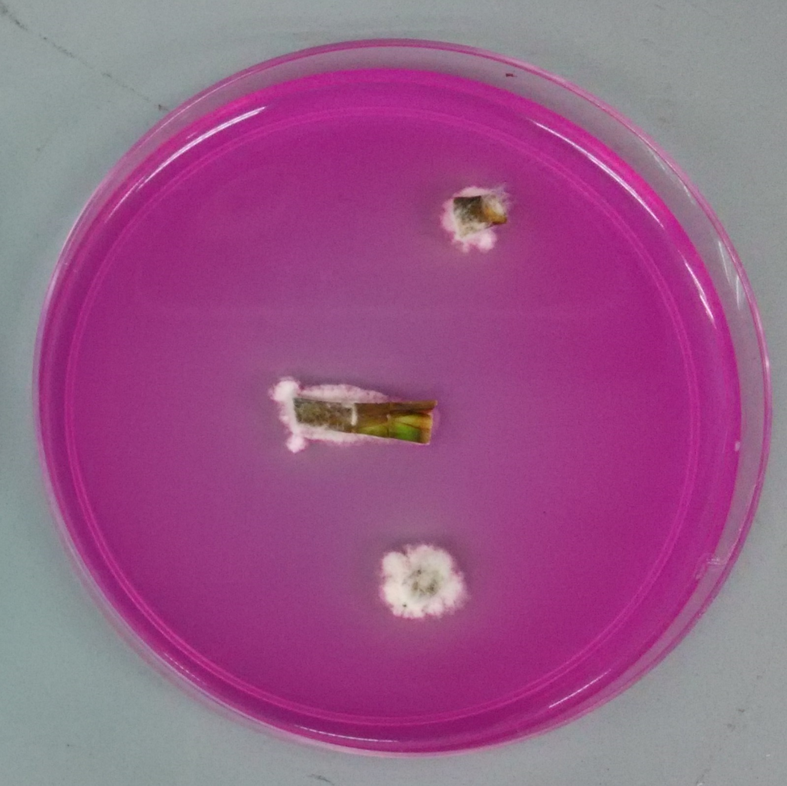 Re-isolation of introduced endophyte from stem in potato dextrose rose bengal agar. Photo credit to Carrie.