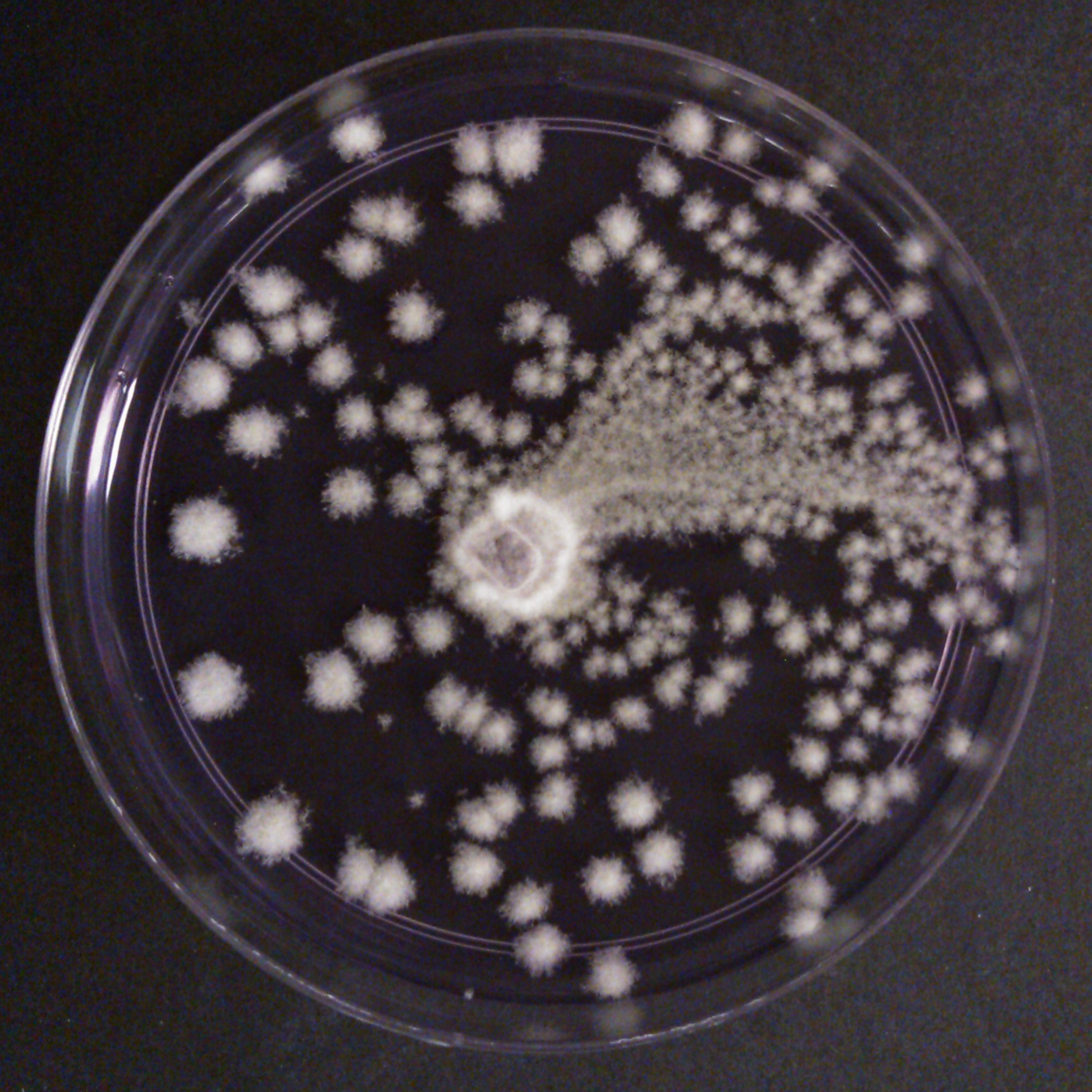 Penicillium sp. on chromium-laden agar. Photo credit to Si Hui.