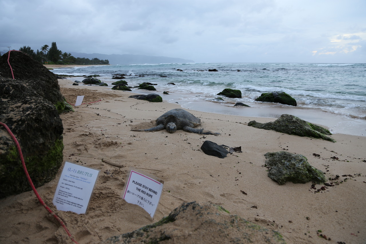 大学生に保護されている休憩中のウミガメ