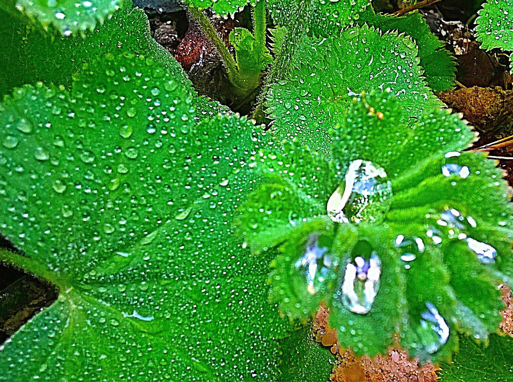 Frauenmantel  (Alchemilla vulgaris)      © I. Geusen 2015