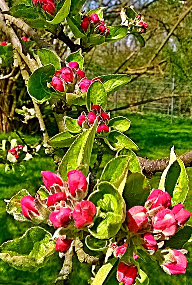 Apfelbaum (Malus domestica)                                                                                                © I. Geusen 2015