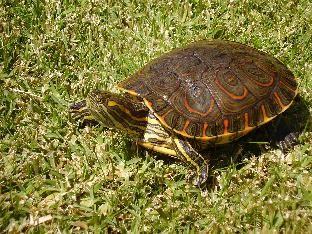 Tortugas acuaestanques el maravilloso mundo de los for Estanque tortugas