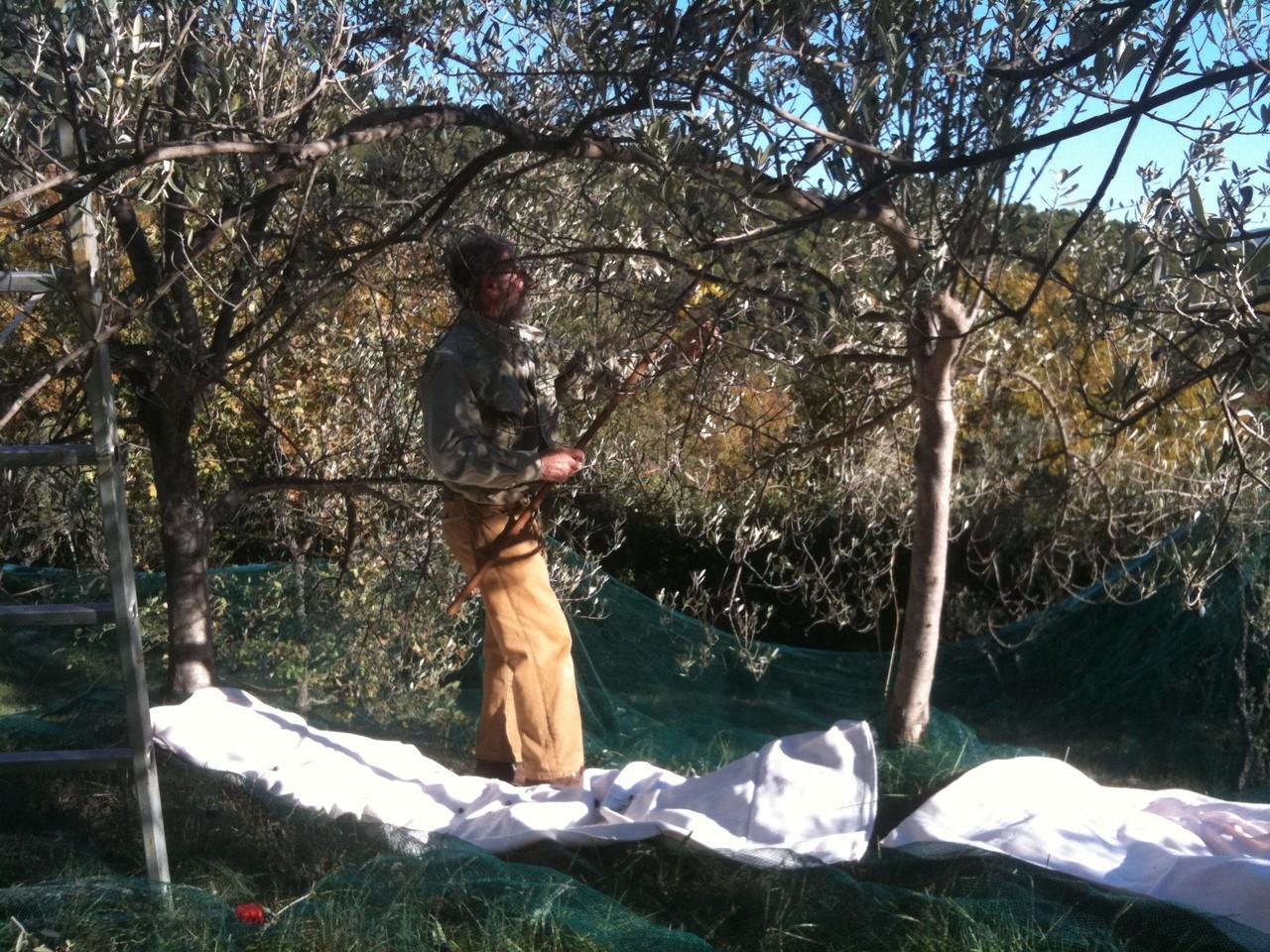 Le père Joan-Carlo peigne l'olivier