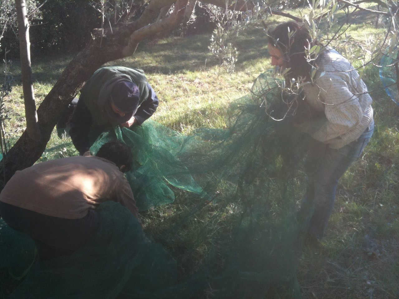 Les olives sont rassemblées dans le filet