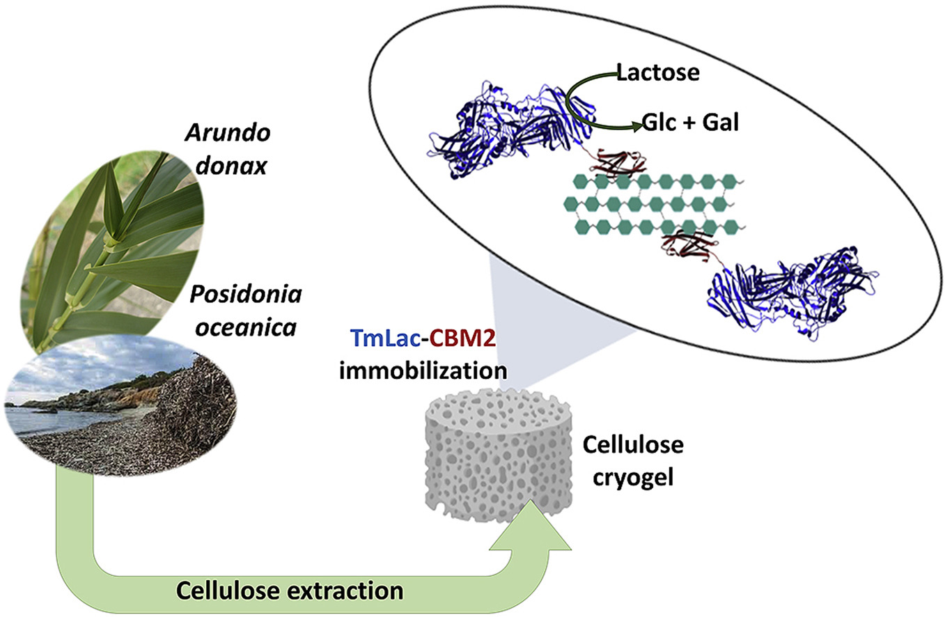 Revalorization of cellulosic wastes from Posidonia oceanica and Arundo donax as catalytic materials based on affinity immobilization of an engineered β-...