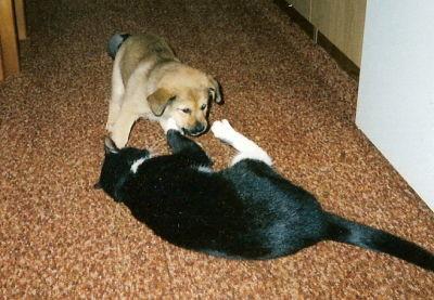 Charlie-Wellpe legt sich mit unserer Katze an
